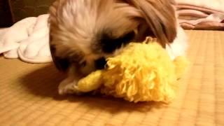 いつもこの子を噛まないといられない。 大好きなおもちゃです(*^_^*)
