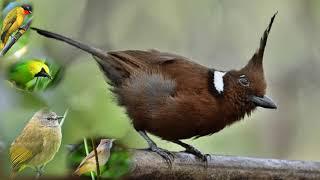 Suara burung ribut untuk memimakat  segala burung# pake getah dan pakai jaring