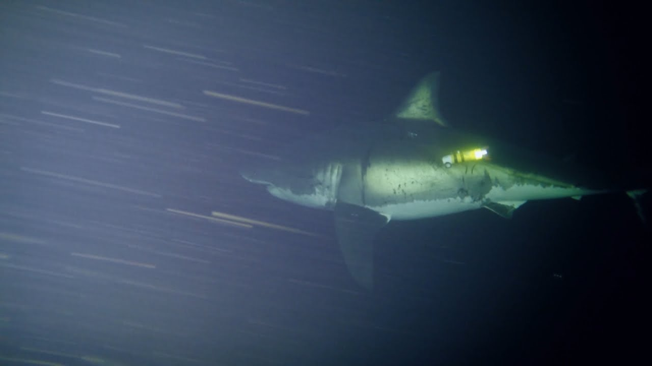 Great white shark caught sleeping on film for the first time | MNN