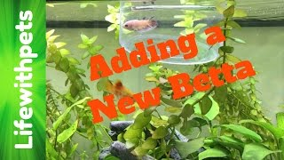 adding a new betta fish to the female community tank