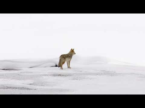 Coyote hunting in Yellowstone
