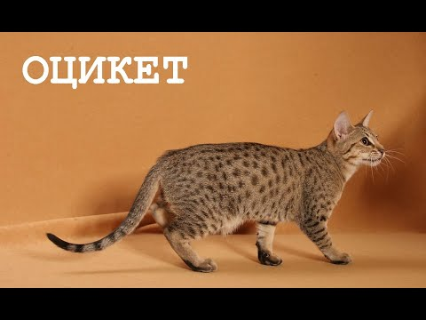 Домашний леопард. Кошка с дикой раскраской - оцикет.
