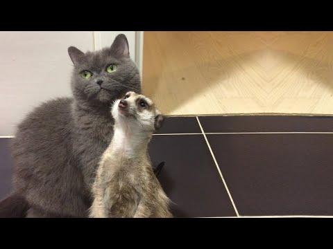 Дружба суриката кота такие за 31 января