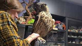 Have you seen an owl with bare legs? Look at this! Eagle owl changes shoes