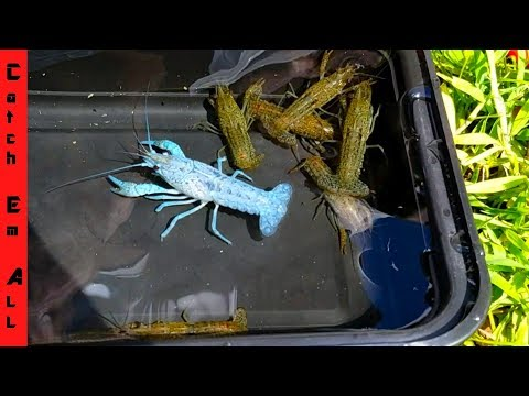 1 In MILLION BLUE LOBSTER CAUGHT In STORM DRAIN!