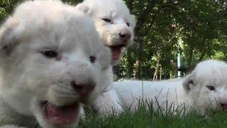 Four Newborn White Lion Cubs Born in Zoo