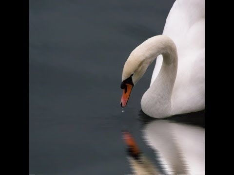 The Swan Song. Music by Camille Saint-Saens. Classical crossover by Origen