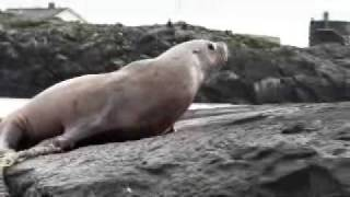 Steller sea lion struggles to free itself from netting