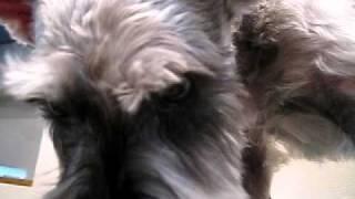 http://www.doggies.tv 今回のごんぞー君は、全体的に短く仕上がってい...