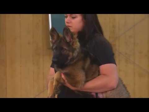Striker von Prufenpuden 11 Week Old Super Dog Wow! German Shepherd Sable Protection