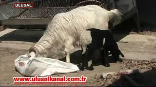 Keçi, kuzuya anne oldu