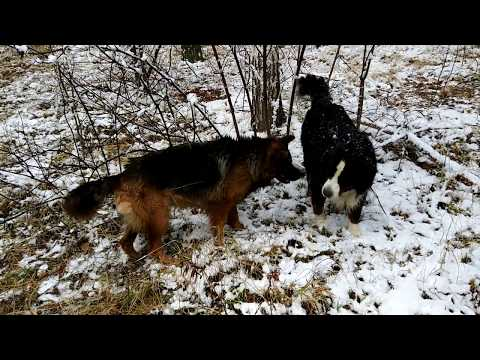 Testing the first snow. Bernese Mountain Dog and German Shepherd