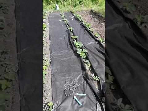 Лучший способ посадки клубники на агроволокно!