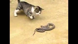 Смелая кошка расправляется со змеей