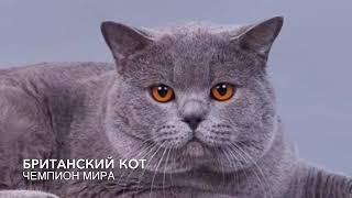 Британские котята. Купить британского котёнка