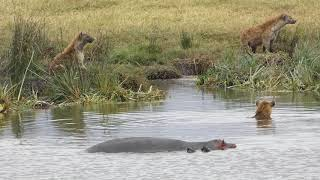 Hippo Vs hyena clan - hippo defends calf