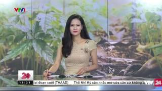 Gian nan cuộc chiến bảo vệ sâm Ngọc Linh | VTV24