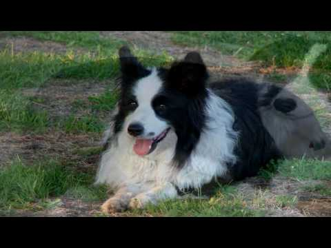 Border Collie Heartworm Prevention