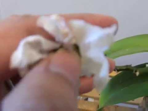 Growing seed pod : Pollinating Phals Weeks 10-12