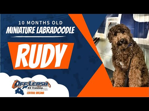10 mo Miniature Labradoodle (Rudy) Best dog trainers in Virginia