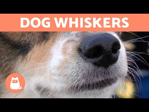 Pet Corner - Why Do DOGS Have WHISKERS?