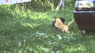 ►►  Редкий сумашедший бой котов!