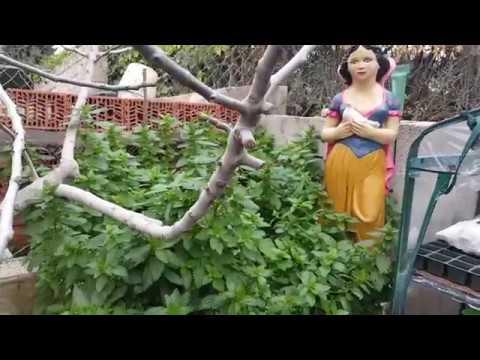 Blancanieves cosechando hojas de ortiga para secar