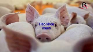 Nguy cơ Việt Nam bị đầu độc bằng lợn nhiễm bệnh tả từ Trung Quốc