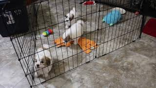 Coton Puppies For Sale - Hannah 2/5 & 6/21