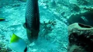 Trigger Fish Funny Behavior