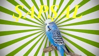 ŞapŞal Sesİ Papağan Ve Muhabbet Kuşu  Konuşma Eğitimi Sesi Hazır Ses Kaydı 1 Saa