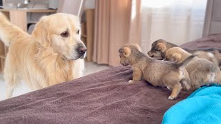 Golden Retriever Meets Puppies for the First Time