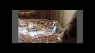 Смешное видео, кошка танцует самбо