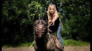 DANGEROUS & PROTECTIVE? THE DUTCH SHEPHERD