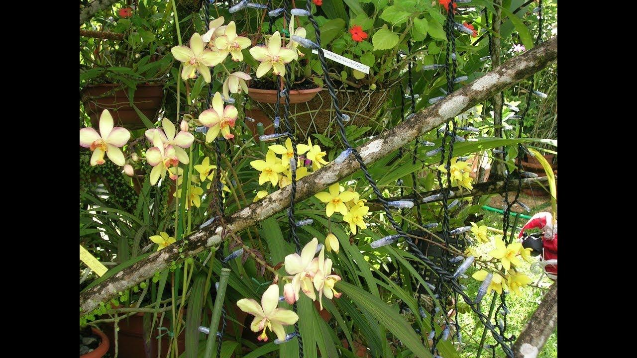 jardin de viviane martinique spathoglottis - YouTube