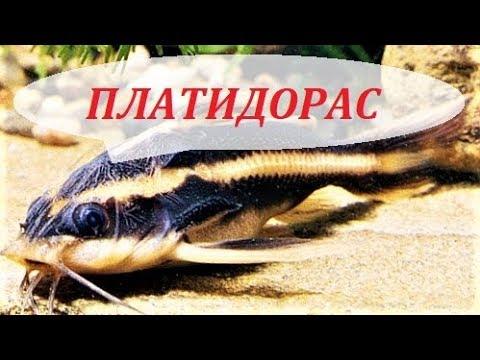 Сом Платидорас полосатый. Содержание, размножение, кормление, совместимость. Platydoras Armatulus