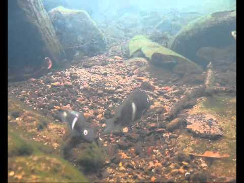 Central American cichlid fishes natural underwater video