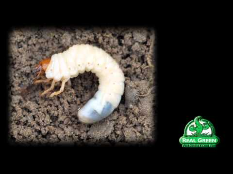 Grub Worm Identification and Treatment