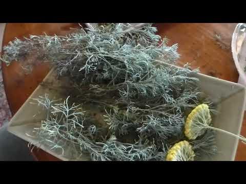 Peak Herbal Season with yarrow, wormwood, hyssop, egyptian mint and lemon balm
