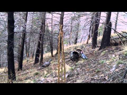 Turkey hunt in Ruidoso, New Mexico