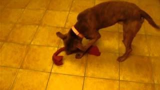 Meet Robert A Dogue De Bordeaux Currently Available For Adoption At Petango.com! 11/4/2014 8:15:39 A