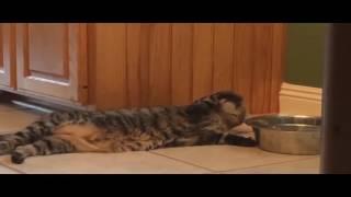 ОЧЕНЬ СМЕШНОЙ КОТ ПЬЕТ ЛЕЖА / VERY FUNNY CAT [ANIMALS]