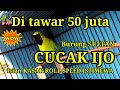 Cucak Ijo Gacor Full Isian Sultan Istimewa  Juta Full Isian Kasar Roll Speed Panjang  Mp3 - Mp4 Download