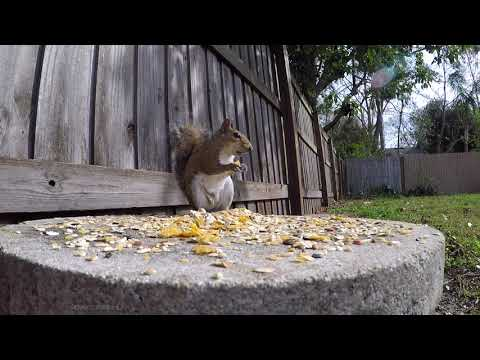 1 Hour of Eastern Gray Squirrels eating close up |  Great video for Dogs and Cats