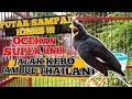 Ocehan Unik Jalak Kebo Jambul Thailand Jalak Kebo Gacor  Mp3 - Mp4 Download