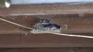 9日間ツバメのヒナの撮影しました。雛が日に日に大きくなっていき、つい...