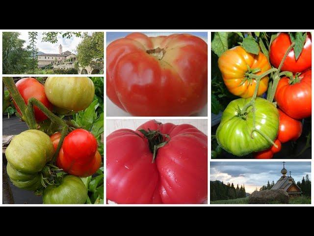 Религиозное наследие: томаты из глубины веков!