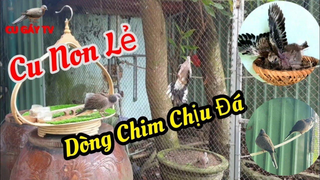 Bán Chim Cu Con Malaysia !