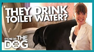 Stolen Food & Toilet Water Make These Dane's Diet Questionable | It's Me or the Dog