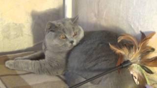 Ferrary Tatirim  - 8 mons, British junior cat  Британская кошечка-подросток.